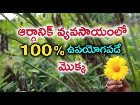 TeluguStop.com - ఆర్గానిక్ వ్యవసాయంలో ప్రతి రైతుకి ఉపయోగపడే మొక్క Most Useful Plant In Organic Farming-Telugu Trending Viral Videos-Telugu Tollywood Photo Image