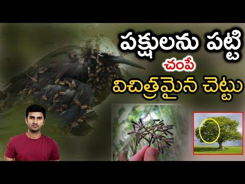 Pisonia Tree : The Bird Killing Tree   Telugu Facts-Pisonia Tree : The Bird Killing Tree Telugu Facts-Telugu Trending Viral Videos-Telugu Tollywood Photo Image-TeluguStop.com
