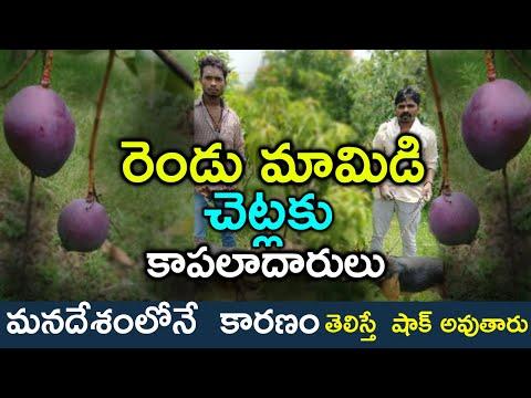 Couple Hires 4 Security Guards,6 Dogs To Protect Two Mango Trees  రెండు మామిడి చెట్లకి కాపలాదారులు-TeluguStop.com