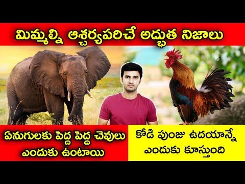 Interesting Facts In Telugu  కోడి పుంజు ఉదయాన్నే ఎందుకు కూస్తుంది   Telugu Facts  unknown Facts-TeluguStop.com