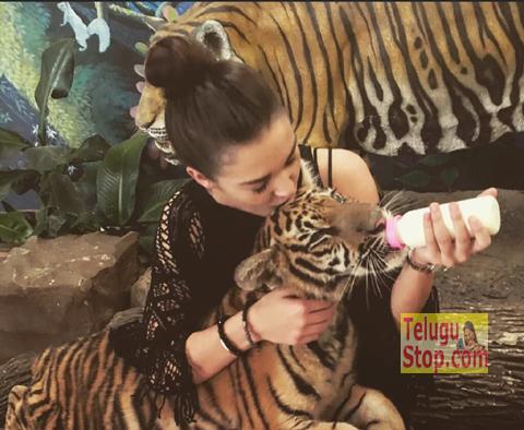 Hot Beauty feeding milk to tiger Photo Image Pic