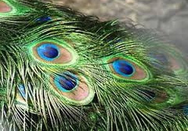 How To Get Rid Of Lizards At Home? Useful Tips-Lizards Peacock Leaves Pepper Spray