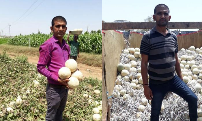 21 Lakhs In 70 Days Growing Muskmelons Helped A Farmer Earn This-Farmer