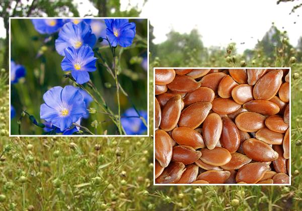 Flax Seeds Health Benefits-