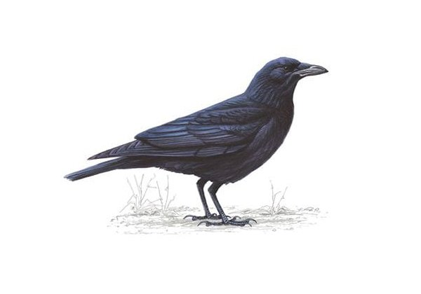 Crows Understand Water Displacement Better Than Your Kid-