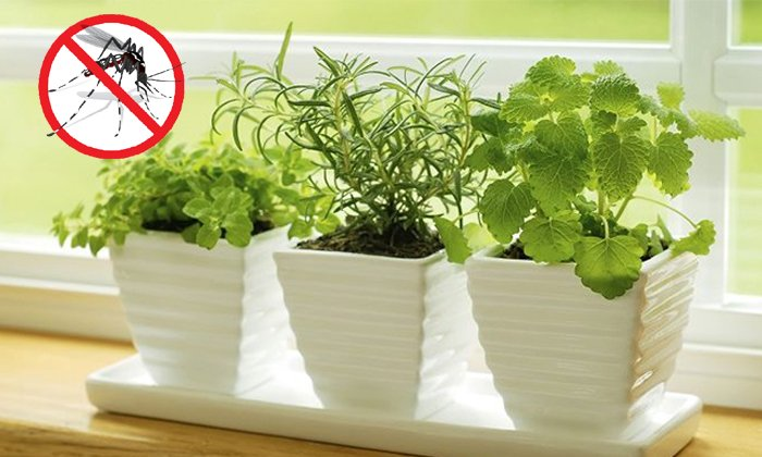 How To Kill Mosquitoes On Indoor Plants--How To Kill Mosquitoes On Indoor Plants-