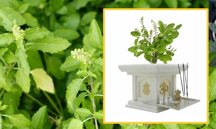 Facts And Importance About Tulsi Plant--Facts And Importance About Tulsi Plant-