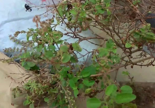 Unknown Facts And Importance About Tulsi Plant-