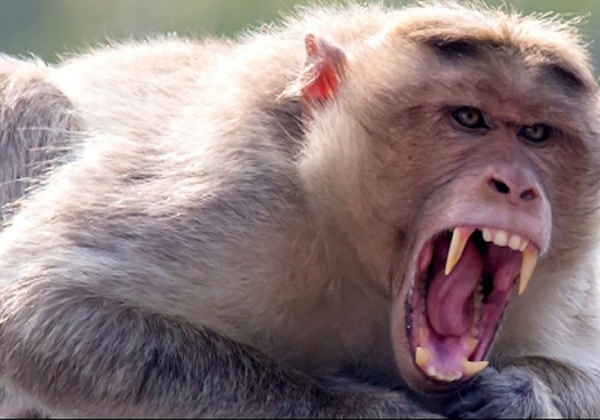 Monkeys Who Have Been Killed By Oldman At Uttarapradesh-