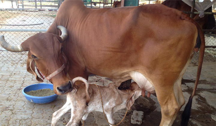 The Cow Is Growing In Tripura CM-
