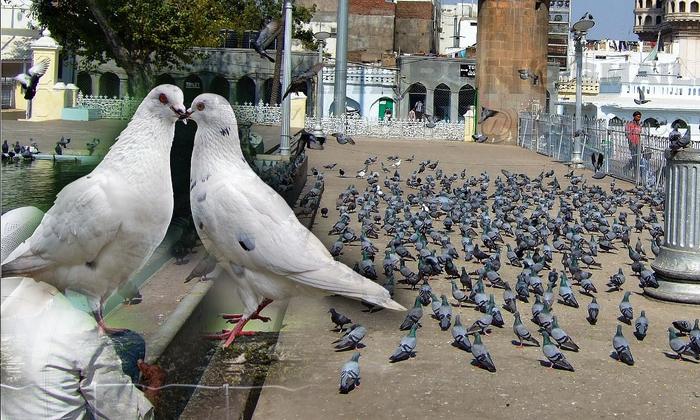హైదరాబాద్ను వణికిస్తున్న పావురాలు.. నగరం నుండి వాటిని పంపేందుకు ప్రభుత్వం ప్రయత్నాలు