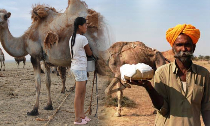 Unknown Facts About Camel Milk Comparing With The Donkey Milk- Telugu Viral News Unknown Facts About Camel Milk Comparing With The Donkey Milk--Unknown Facts About Camel Milk Comparing With The Donkey Milk-