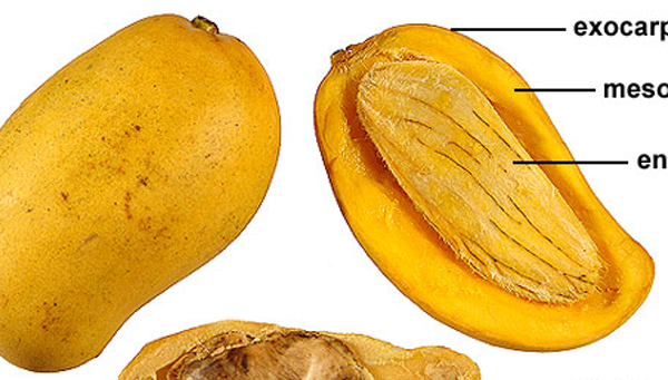 Mango Endocarp Health Benefits-Mango