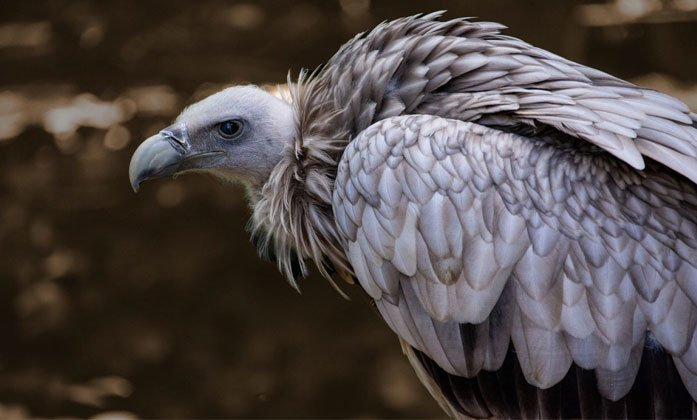 Vulture Spotted After 20 Years In Hyderabad--Vulture Spotted After 20 Years In Hyderabad-