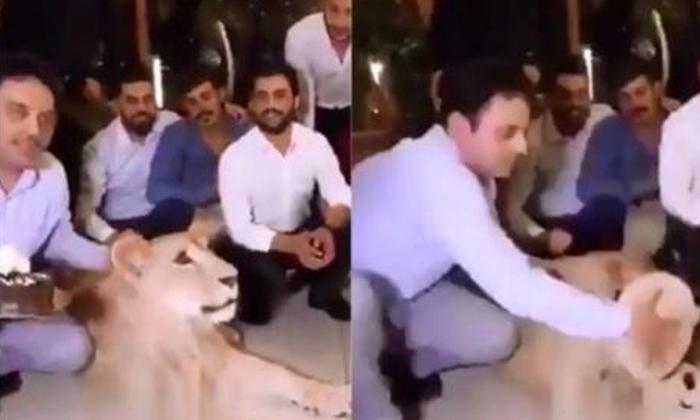 Kurdish Man Smashes Cake Into Pet Lion\'s Face--Kurdish Man Smashes Cake Into Pet Lion's Face-