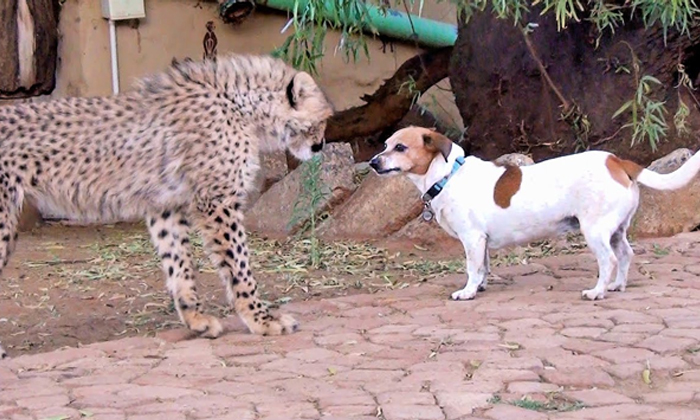 Leopard Feared Dead After At A Time 10 Dogs Attack At Karnataka--Leopard Feared Dead After At A Time 10 Dogs Attack Karnataka-