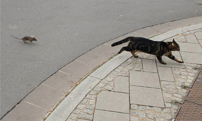Rat Chases Cat Video Viral In Social Media--Rat Chases Cat Video Viral In Social Media-