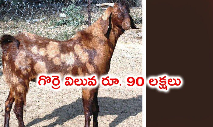 Goat Worth Of Rs 90 Lakhs In Rajasthan--Goat Worth Of Rs 90 Lakhs In Rajasthan-