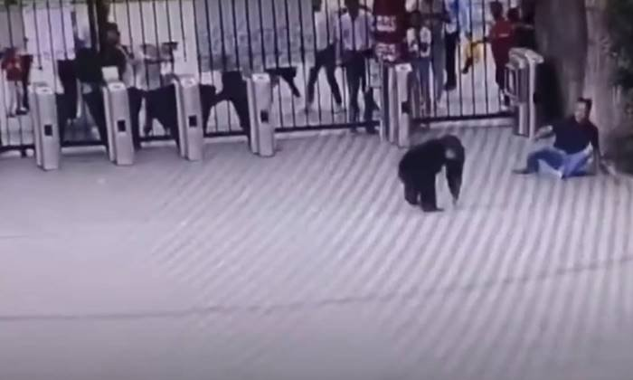 Chimpanzee Escape To Zoo--Chimpanzee Escape To Zoo-