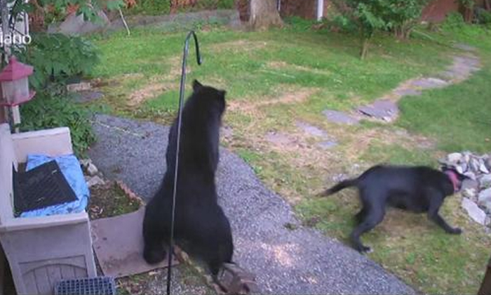 Dog Chases Bear From Garden--Dog Chases Bear From Garden-