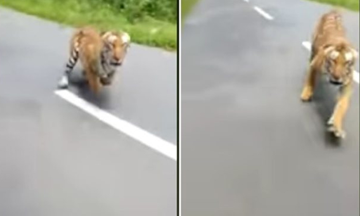 Tiger Chases A Bike Rider--Tiger Chases A Bike Rider-