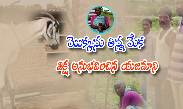 Sarpanch Punishes Goat Keeper For Eating Plants-vikarabadh,village President Telugu Viral News Sarpanch Punishes Goat Keeper For Eating Plants-vikarabadh Village President-Sarpanch Punishes Goat Keeper For Eating Plants-Vikarabadh Village President