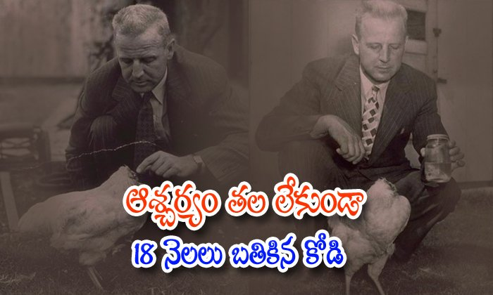 Chicken D With Out Head-laeed Olsen,mike Chicken,telugu Nri News-Chicken Lived With Out Head-Laeed Olsen Mike Telugu Nri News