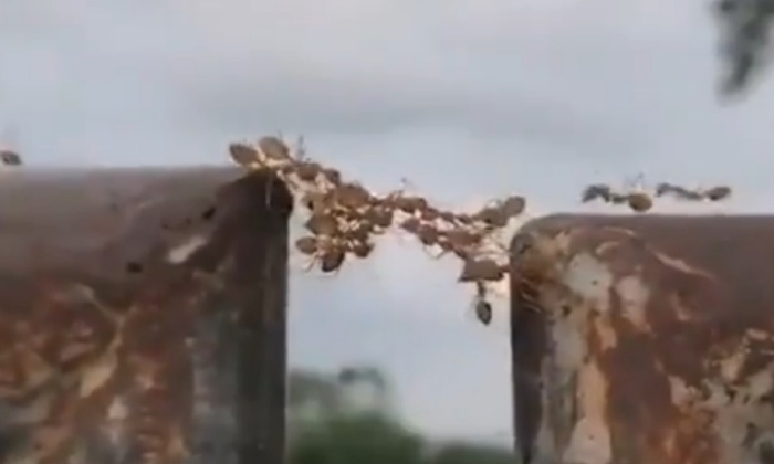 Netizens Marvel At Unity Of Ants-unity Of Ants-Netizens Marvel At Unity Of Ants-Unity Ants