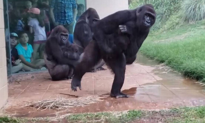 Gorillas Making A Run For It In The Rain. Especially The Expressions-gorillas,monkeys,social Media-Gorillas Making A Run For It In The Rain. Especially Expressions-Gorillas Monkeys Social Media