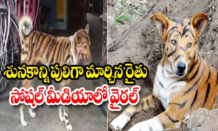 Farmer Paints Dog To Look Like Tiger-karnataka,shivamogga Telugu Viral News Farmer Paints Dog To Look Like Tiger-karnataka Shivamogga-Farmer Paints Dog To Look Like Tiger-Karnataka Shivamogga