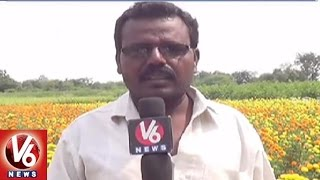 Farmers Earn Profits By Marigold Flower Farming | Nagarkurnool District | V6 News
