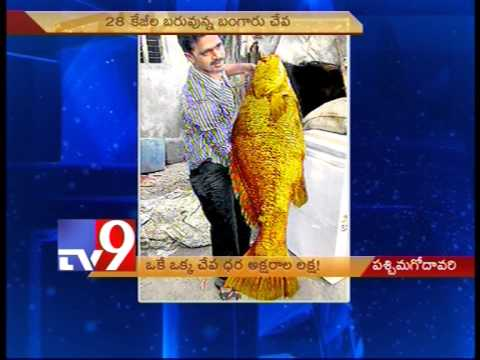 Rare gold fish sells for 1 lakh!